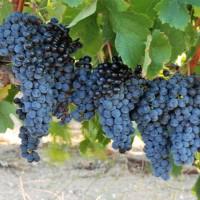 Türk şaraplarının yükselişi