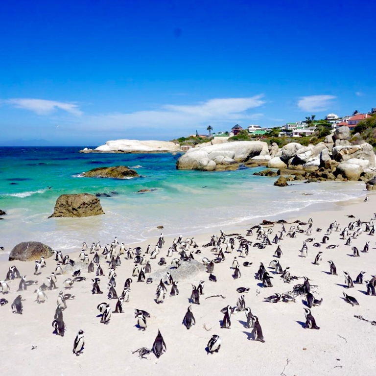 African Penguins at Boulder Beach 2 (Cape Town, Güney Afrika, South Africa)