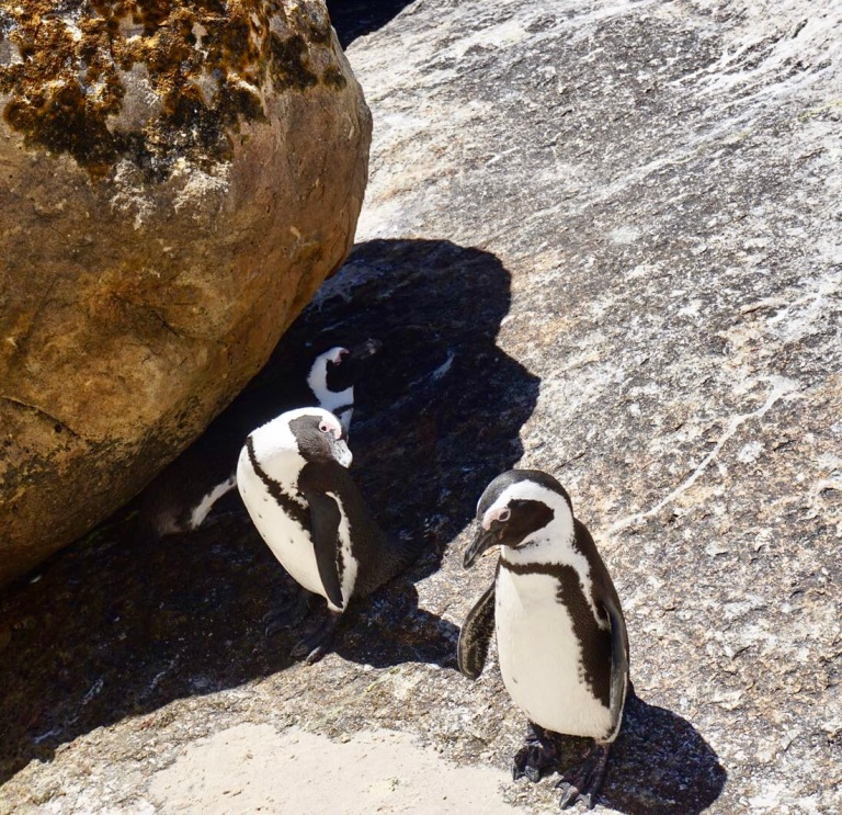 African Penguins at Boulder Beach (Cape Town, Güney Afrika, South Africa)