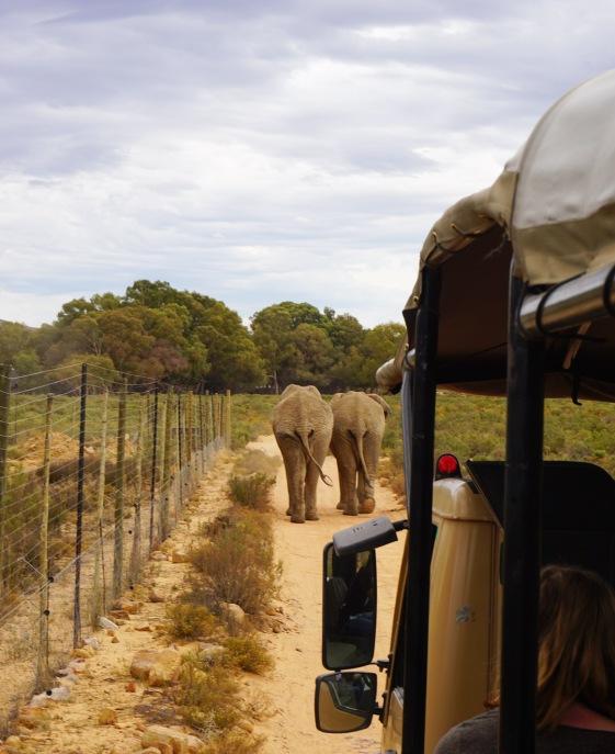 Elephants at Aquila Safari (Cape Town, Güney Afrika, South Africa)