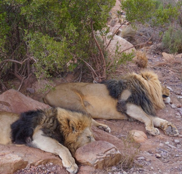 Lions in Aquila Safari (Cape Town, Güney Afrika, South Africa)
