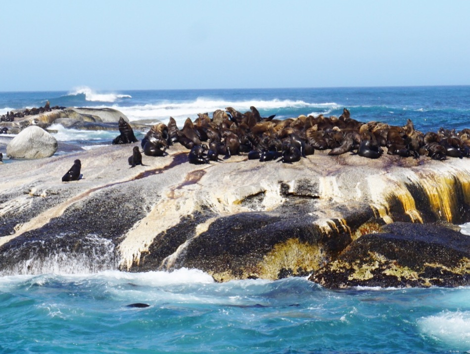 Seals on Duiker Island, Hout Bay (Cape Town, Güney Afrika, South Africa)