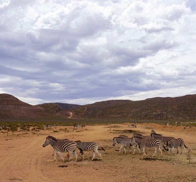 Zebras in Aquila Safari (Cape Town, Güney Afrika, South Africa)