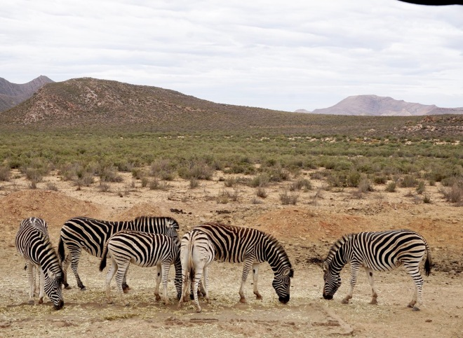 Zebras in Aquila Safari (Cape Town, Güney Afrika, South Africa)