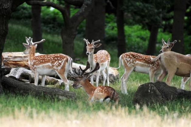 geyikler-richmond park-londra-ingiltere